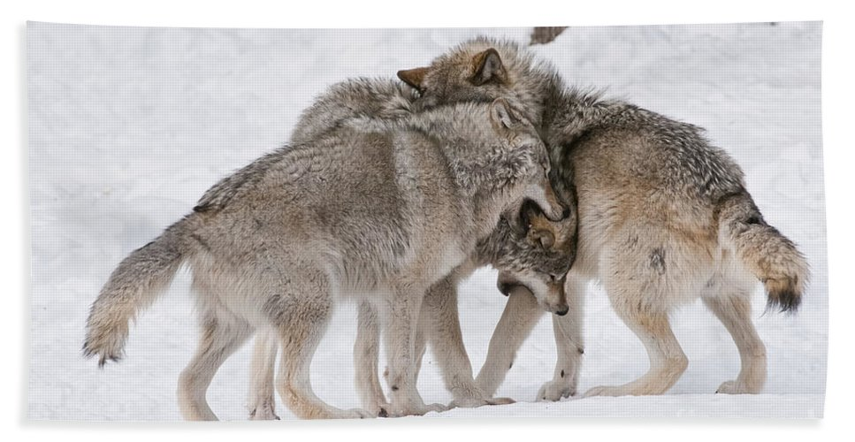 Timber Wolf Photography Beach Towel featuring the photograph Timber Wolves by Wolves Only