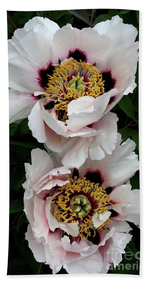 White Peony Beach Towel featuring the photograph Two Together by Christiane Schulze Art And Photography
