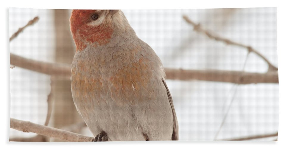 Pine Grosbeak Beach Towel featuring the photograph What's Up? by Cheryl Baxter
