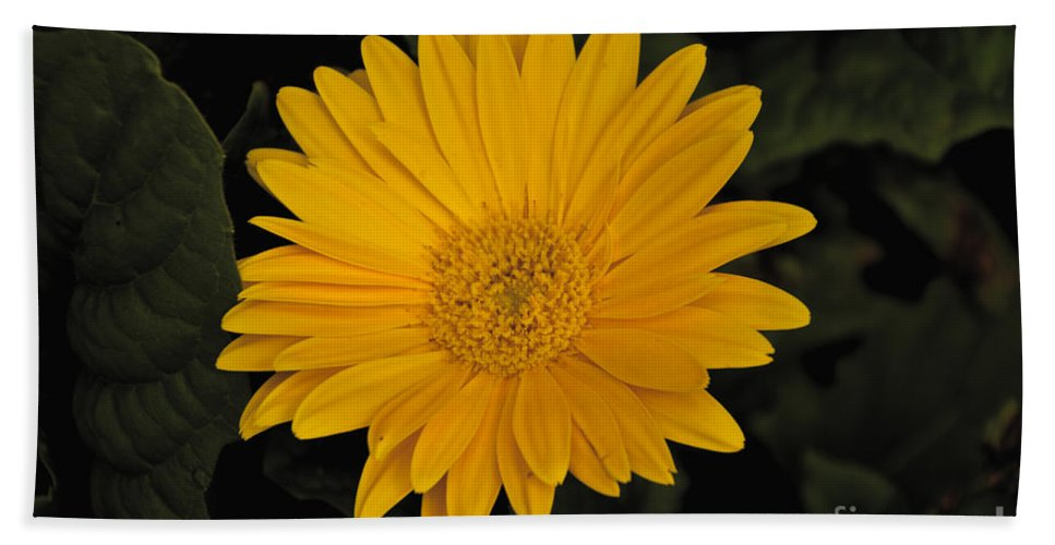 Yellow Beach Towel featuring the photograph Yellow Daisy by William Norton