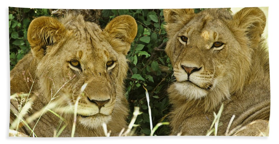 Lion Beach Towel featuring the photograph Young Brothers by Michele Burgess