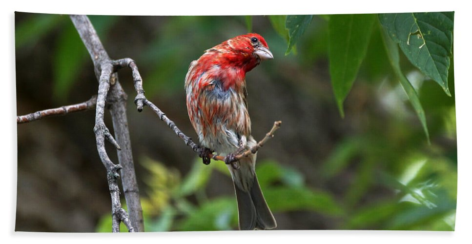 Finch Beach Towel featuring the photograph House Finch by Lori Tordsen