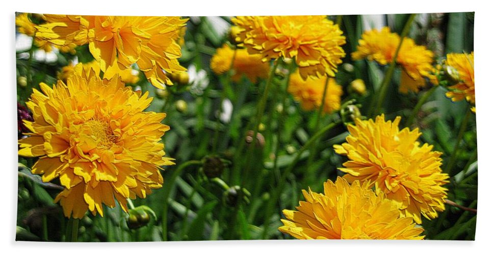 Coreopsis Beach Towel featuring the digital art Coreopsis Named Early Sunrise by J McCombie