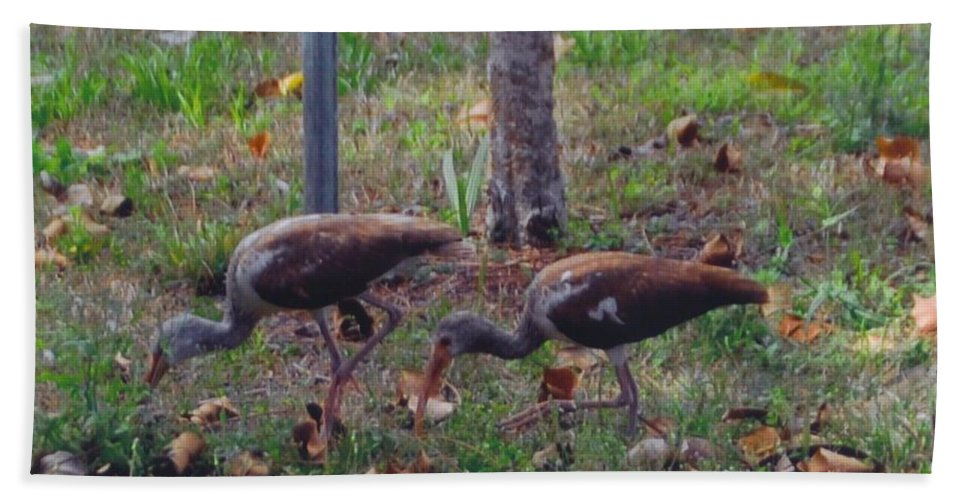 Digging Grubs In My Yard Beach Towel featuring the photograph Juvenile White Ibis by Robert Floyd