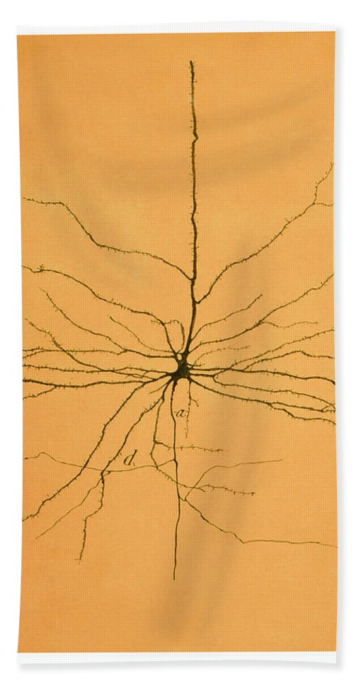 Pyramidal Cell Beach Towel featuring the photograph Pyramidal Cell In Cerebral Cortex, Cajal by Science Source