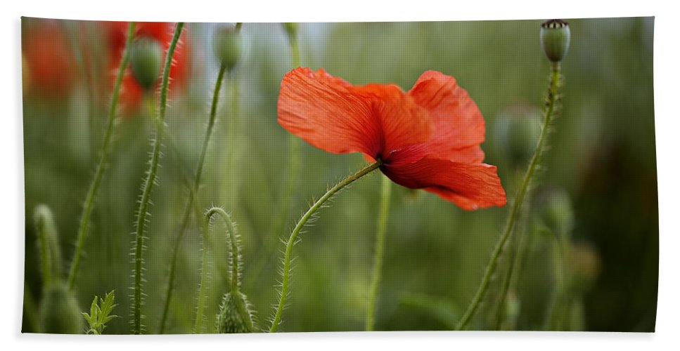 Poppy Beach Towel featuring the photograph Red Poppy Flowers by Nailia Schwarz
