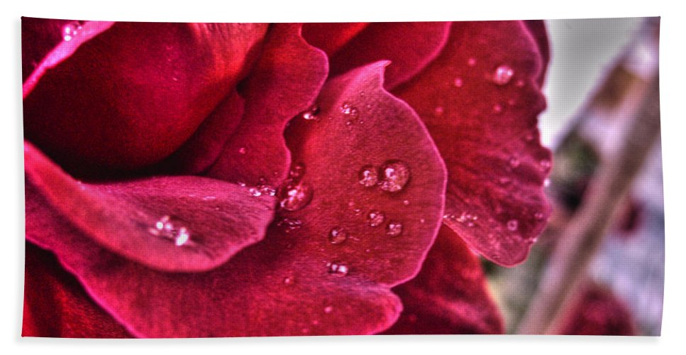 Rose Beach Towel featuring the photograph Red Rose And Summer Rain by Nina Ficur Feenan