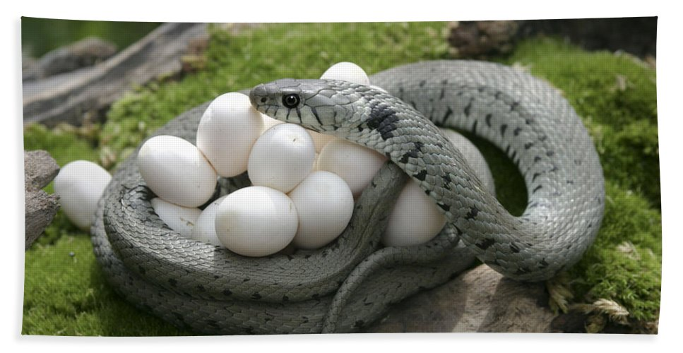 Grass Snake With Eggs Beach Towel