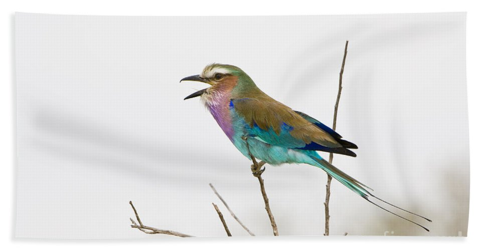 African Fauna Beach Towel featuring the photograph Lilac-breasted Roller by John Shaw