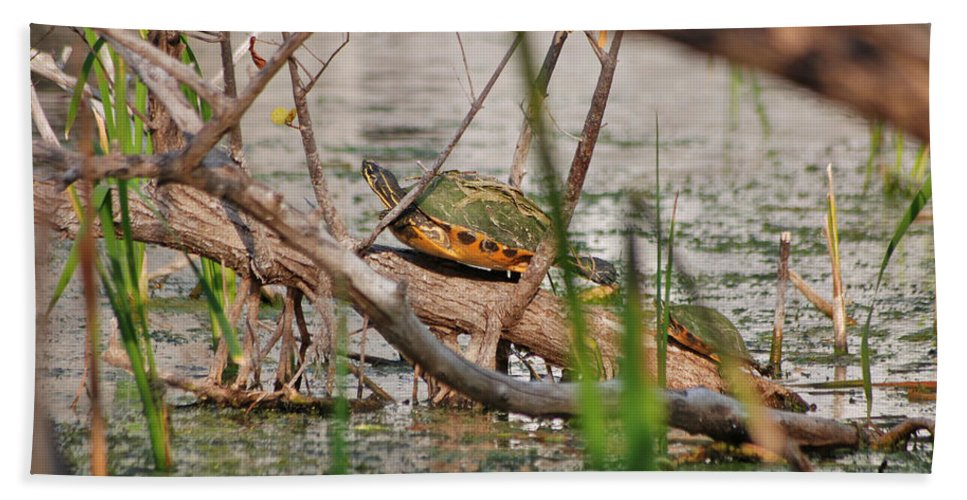 Red-bellied Turtle Beach Towel featuring the photograph 42- Florida Red-bellied Turtle by Joseph Keane