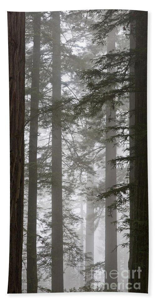 Plant Beach Towel featuring the photograph Foggy Coast Redwood Forest by Gregory G. Dimijian, M.D.