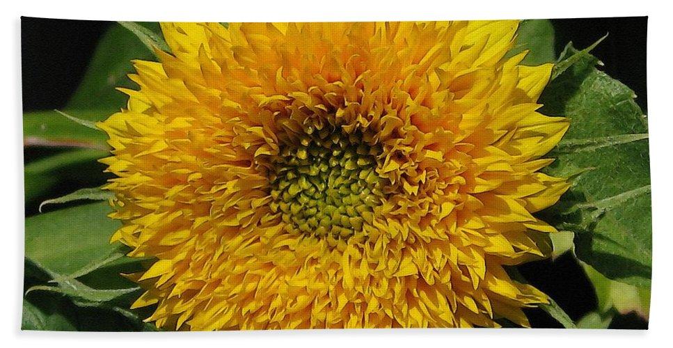 Dwarf Sunflower Beach Towel featuring the painting Dwarf Sunflower Named Teddy Bear by J McCombie