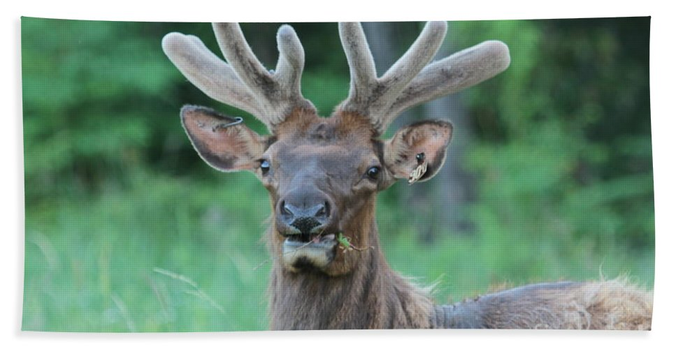 Elk Beach Towel featuring the photograph Elk by Dwight Cook