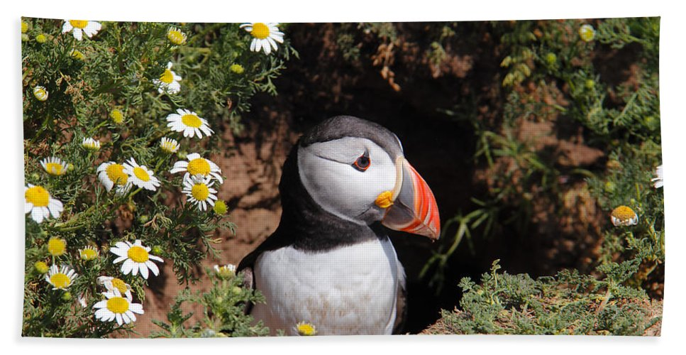 Puffins Beach Towel featuring the photograph Puffin by Traci Law