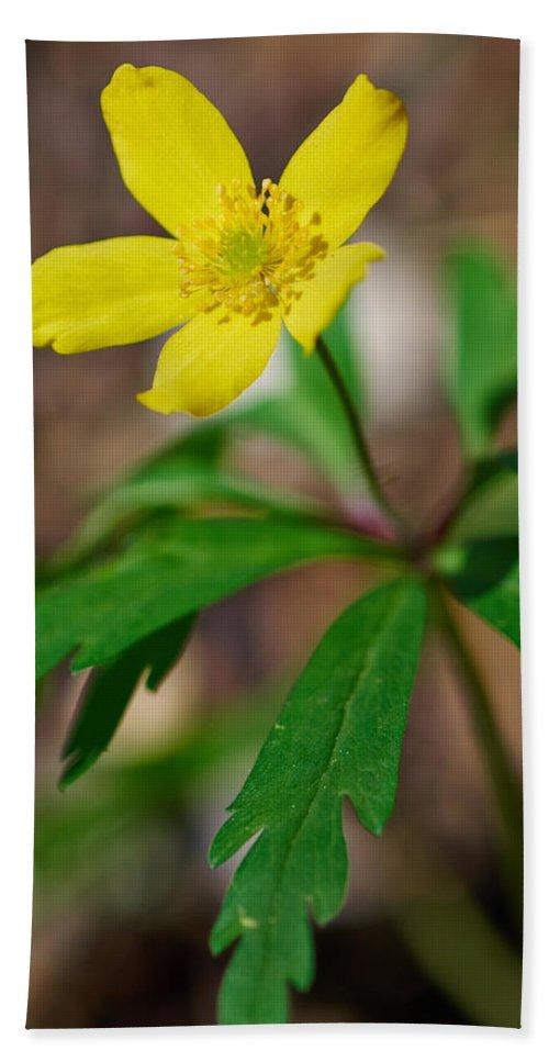 Lehto Beach Towel featuring the photograph Yellow Wood Anemone by Jouko Lehto