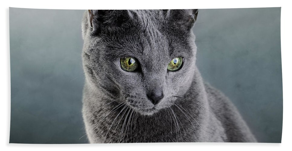 Cat Beach Towel featuring the photograph Russian Blue Cat by Nailia Schwarz