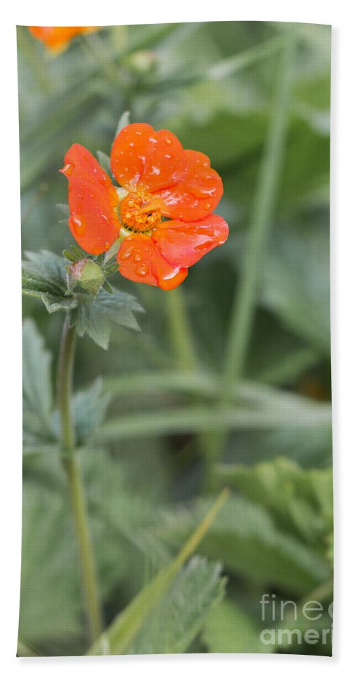 Bulgaria Beach Towel featuring the photograph Scarlet Avens Orange Wild Flower by Jivko Nakev
