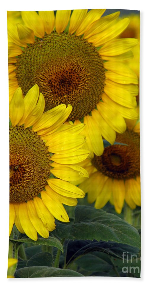 Sunflowers Beach Towel featuring the photograph Sunflower Series by Amanda Barcon