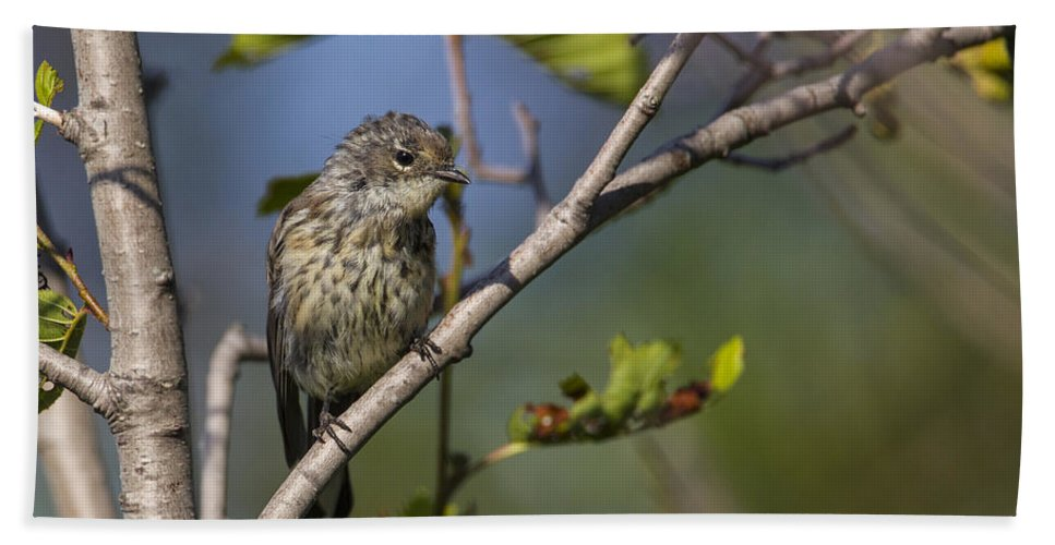 Doug Lloyd Beach Towel featuring the photograph Yellowrumped Warbler by Doug Lloyd