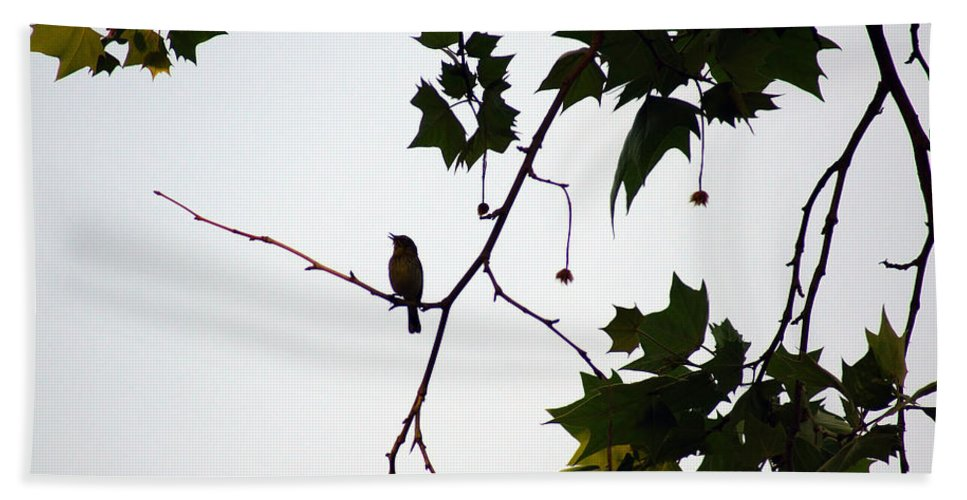 A Brown Thrasher Sings In Sycamore Tree Beach Towel featuring the photograph A Brown Thrasher Sings In Sycamore Tree by Kim Pate