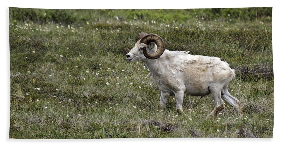 A Dall Ram's Curl Beach Towel featuring the photograph A Dall Ram's Curl by Wes and Dotty Weber