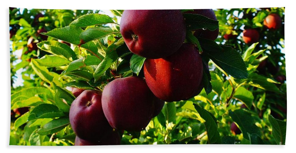 Apples Beach Towel featuring the photograph A Full Branch by Jeff Swan