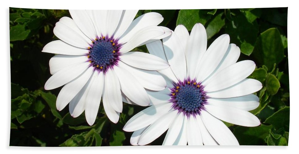 Birthday Beach Towel featuring the photograph A Pair Of White African Daisies by Tracey Harrington-Simpson