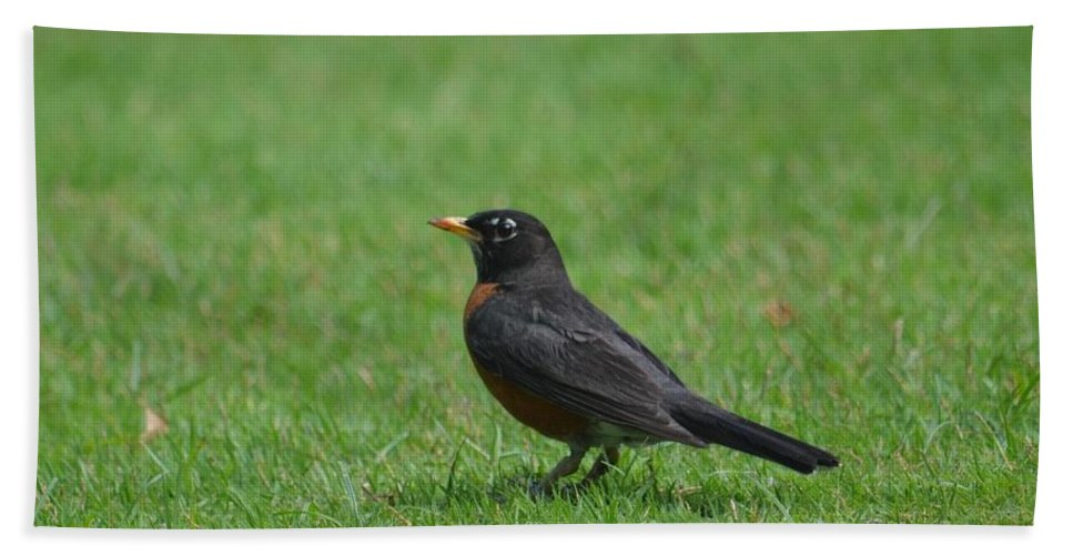 A Robin In June Beach Towel featuring the photograph A Robin In June by Maria Urso