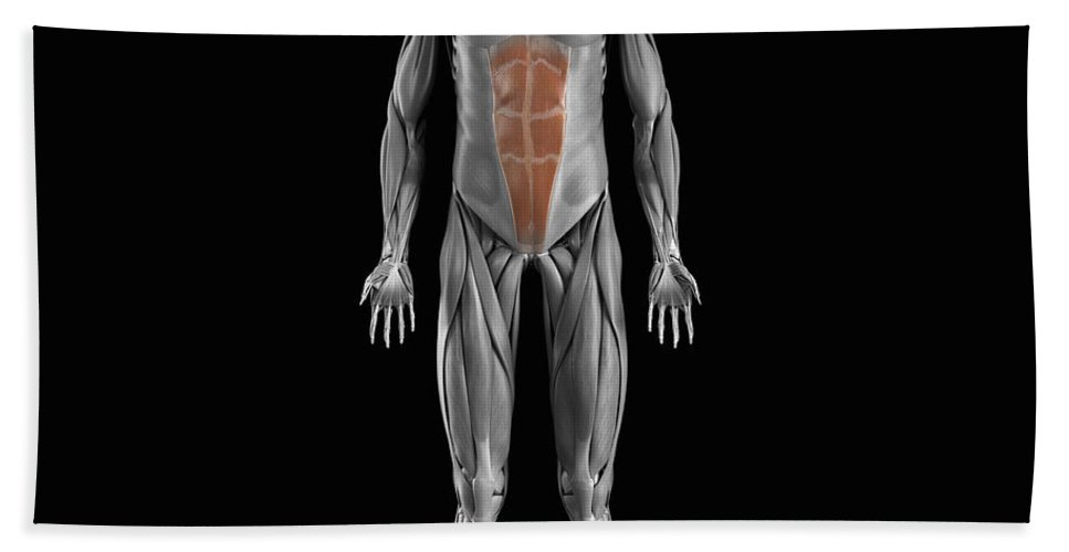 Full View Beach Towel featuring the photograph Abdominal Muscles by Science Picture Co