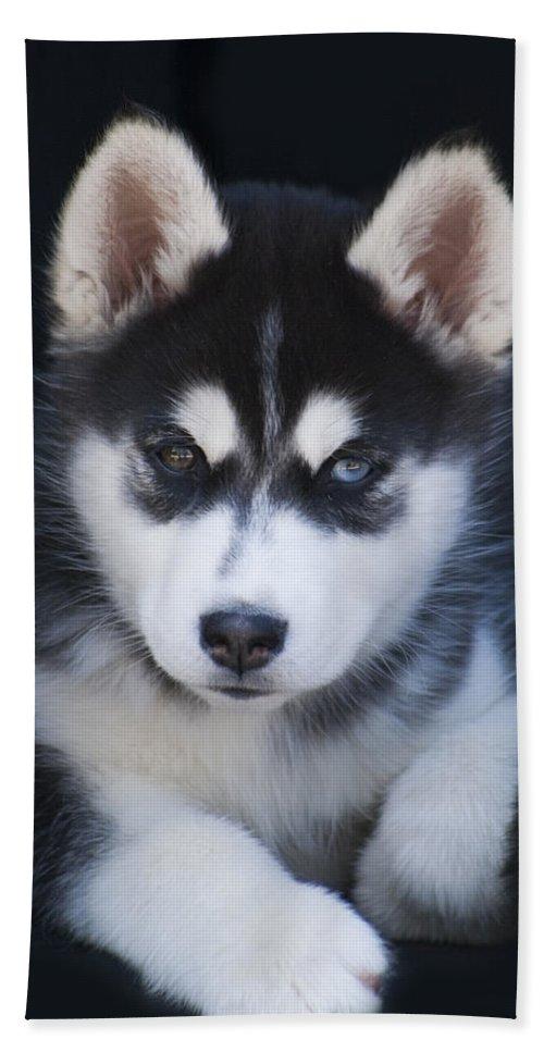 Siberian Beach Towel featuring the photograph Adorable Siberian Husky Sled Dog Puppy by Kathy Clark