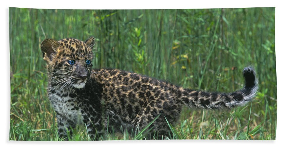 Africa Beach Towel featuring the photograph African Leopard Cub In Tall Grass Endangered Species by Dave Welling