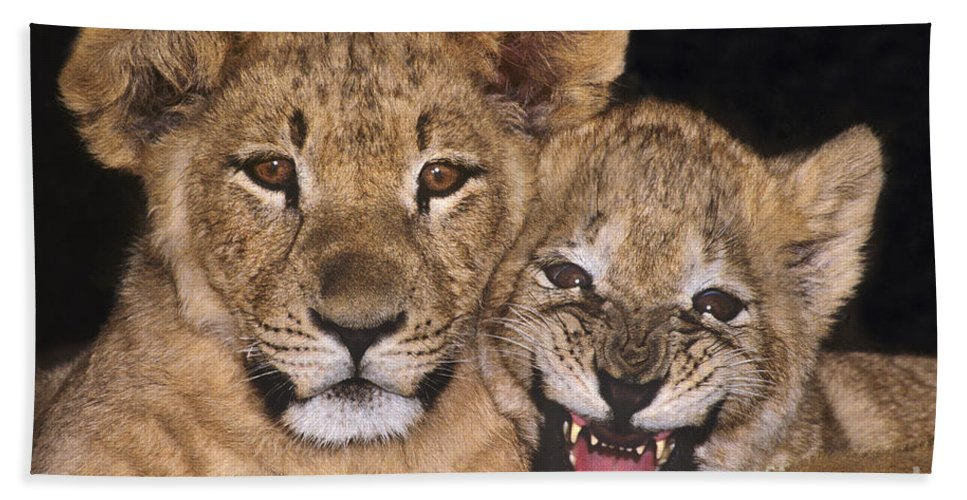 African Lions Beach Towel featuring the photograph African Lion Cubs One Aint Happy Wldlife Rescue by Dave Welling