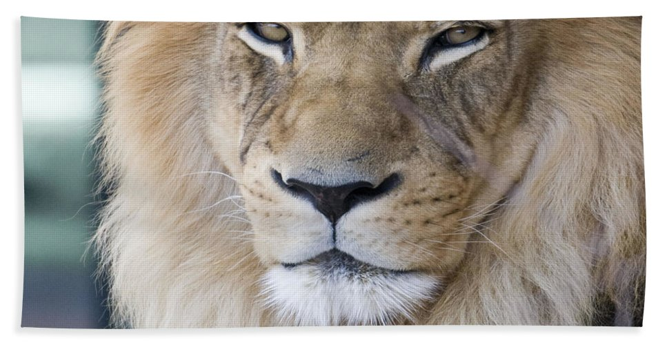 African Lion Beach Towel featuring the photograph African Lion by Juli Scalzi