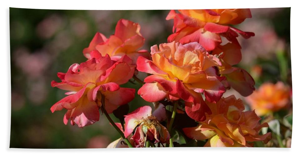 Afternoon Roses Beach Towel featuring the photograph Afternoon Roses by Maria Urso