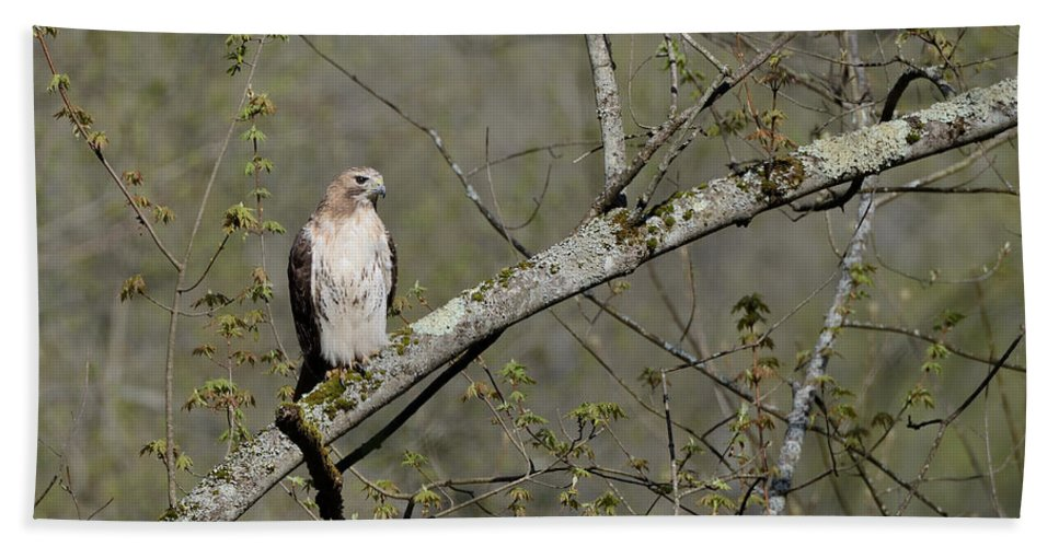 Red-tailed Hawk Beach Towel featuring the photograph Alert by Ian Ashbaugh