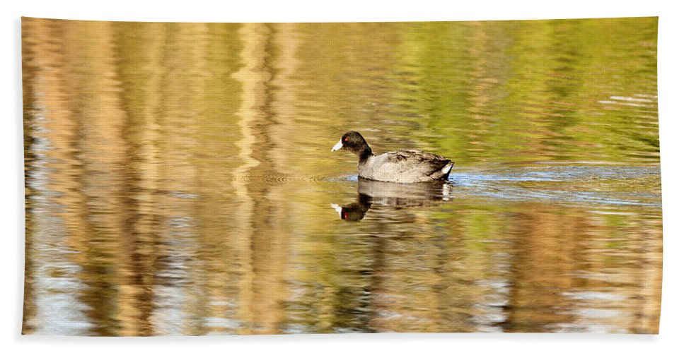 Coot Beach Towel featuring the photograph American Coot by Scott Pellegrin