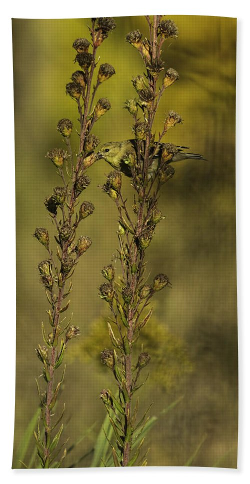 American Goldfinch Beach Towel featuring the photograph American Goldfinch Eating Seeds by Thomas Young