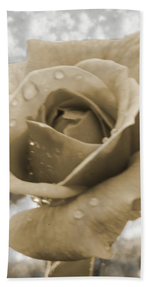 Rose Beach Towel featuring the photograph An Old Fashion Rose by Donna Brown