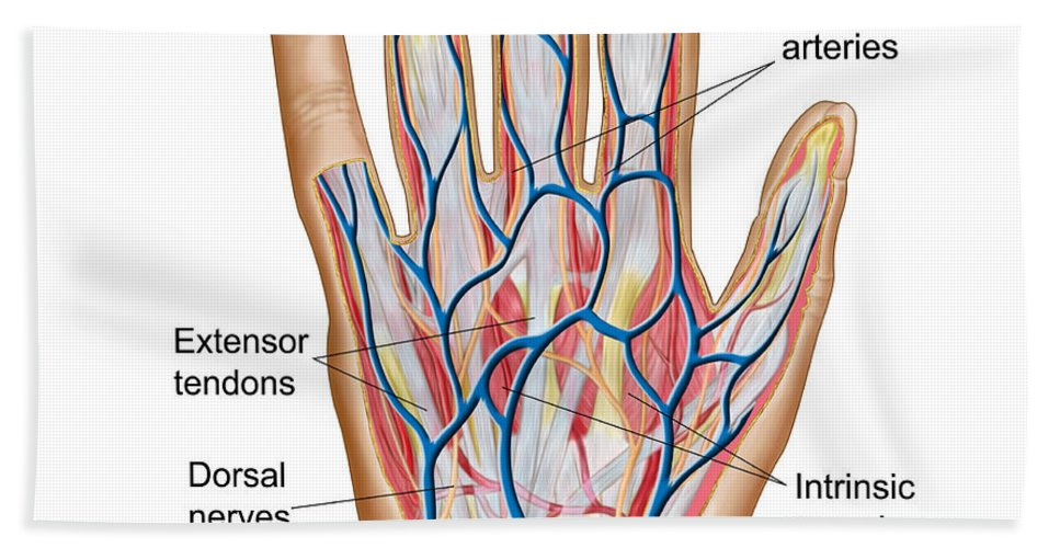 Anatomy Of Back Of Human Hand Beach Towel for Sale by Stocktrek Images