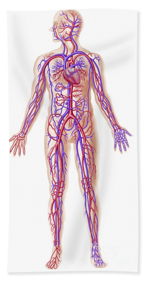 Anatomy Of Human Circulatory System Beach Towel For Sale By Leonello