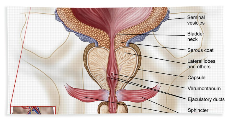 Anatomy Of Prostate Gland Beach Towel for Sale by Stocktrek Images