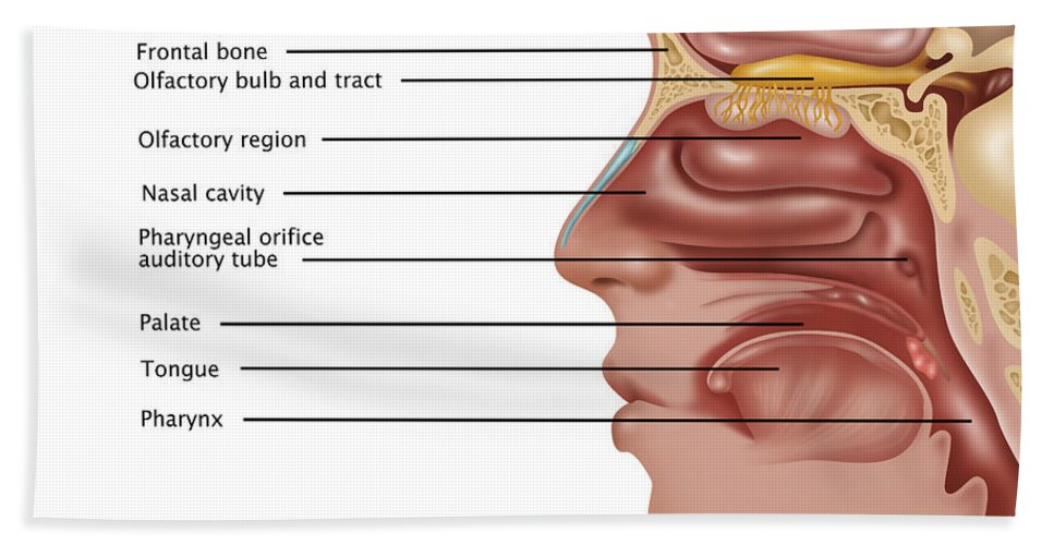 Anatomy Of Smell Illustration Beach Towel For Sale By Gwen Shockey