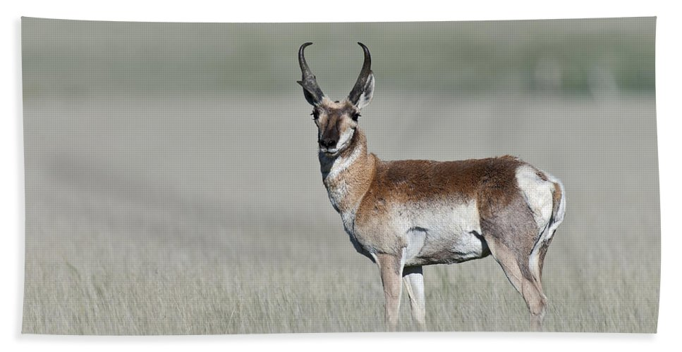 Antelope Buck Beach Towel featuring the photograph Antelope Buck by Gary Langley