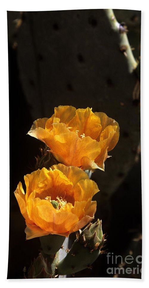 Cactus Beach Towel featuring the photograph Apricot Blossoms by Kathy McClure