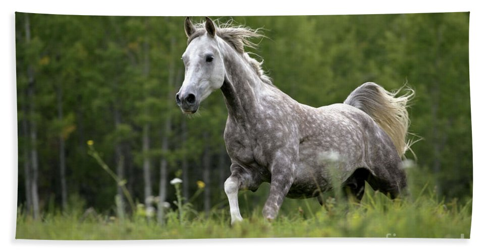 arabian dapple grey horse galloping beach sheet for sale by rolf kopfle