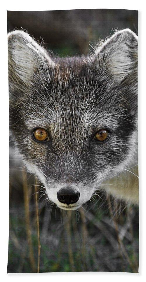 Arctic Fox In Summer Coat Beach Towel featuring the photograph Arctic Fox In Summer Coat by Wes and Dotty Weber