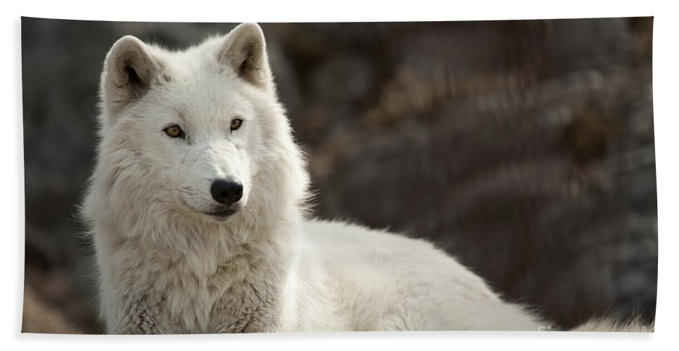 Arctic Wolf Adult Beach Sheet