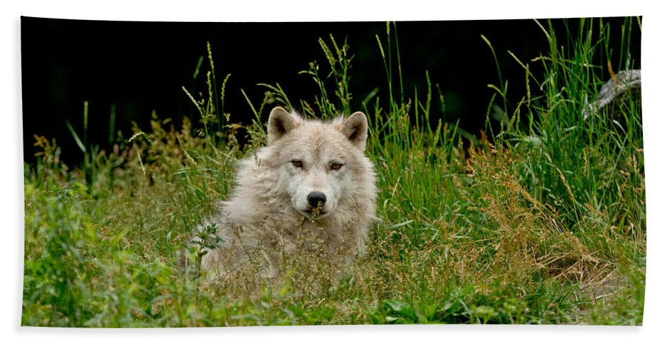 Arctic Wolf Beach Towel featuring the photograph Arctic Wolf Pictures 1172 by World Wildlife Photography