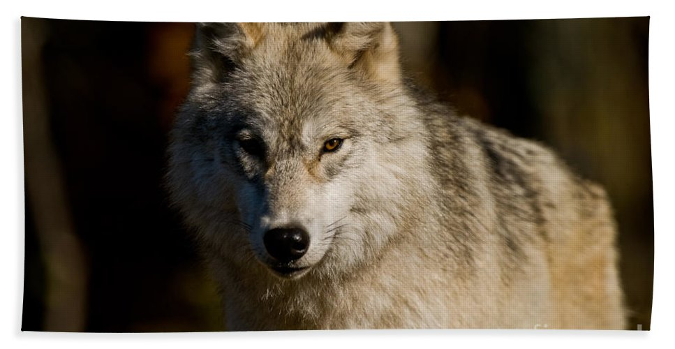 Arctic Wolf Beach Towel featuring the photograph Arctic Wolf Pictures 1224 by World Wildlife Photography
