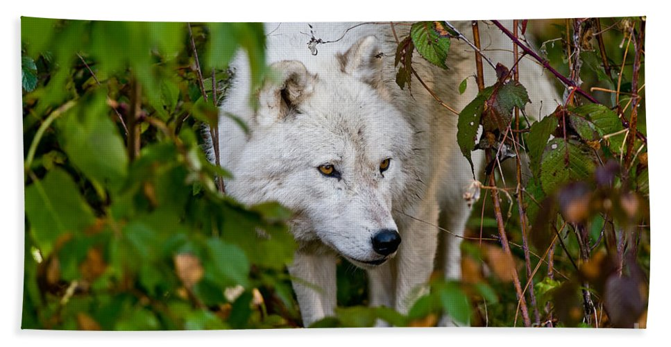 Arctic Wolf Beach Towel featuring the photograph Arctic Wolf Pictures 1228 by World Wildlife Photography